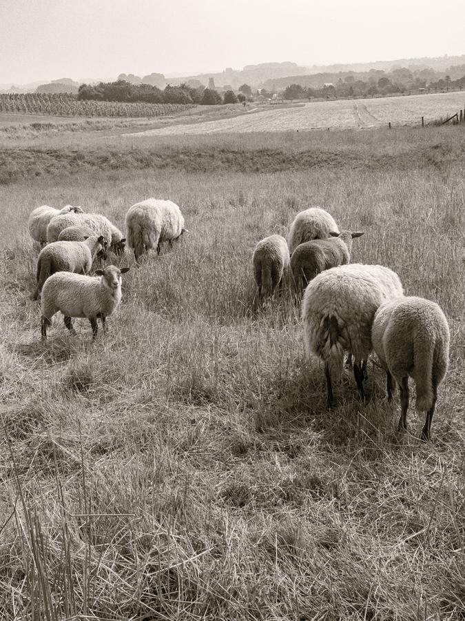 filière-ovine