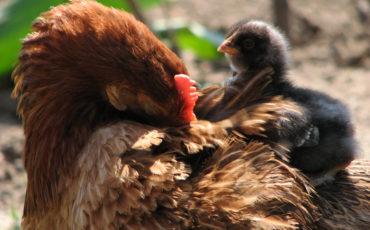 chicken-1374836