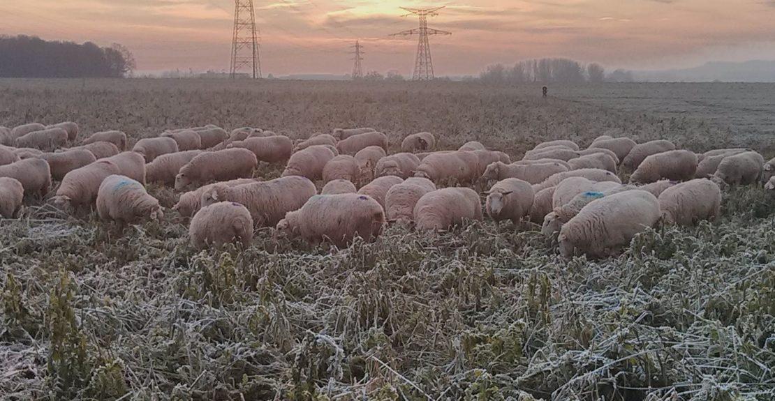 Les moutons peuvent-ils rester dehors tout l'hiver ?