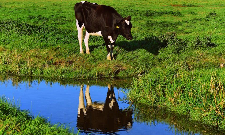 cow-3706901_960_720