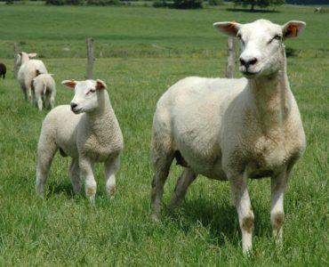 DSC_00342_agneau-lait-15mois